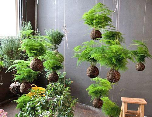 В домашних условиях выращивают разные виды аспарагуса