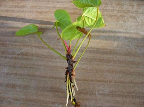 Антуриум размножение листом - Цветы