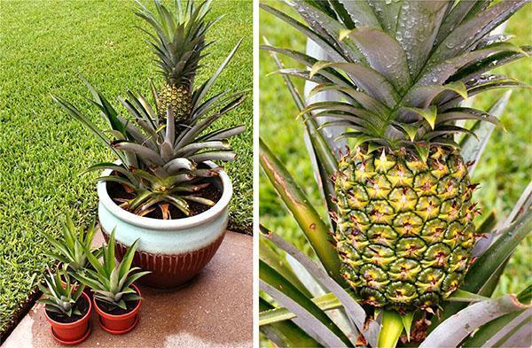 Выращенный дома ананас