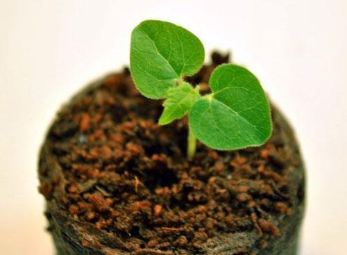 Выращивают саженцы в маленьких стаканах в специальном субстрате
