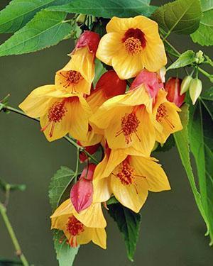 Яркое цветение абутилона