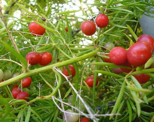 Эффектные ярко-красные ягоды аспарагуса