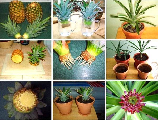 Этапы выращивания ананаса из зеленой верхушки