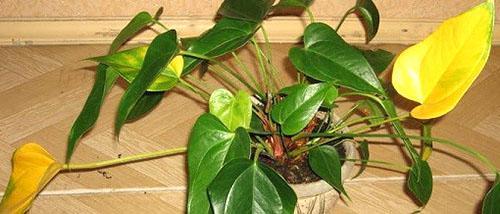 Желтеют листья антуриума при неправильном поливе и болезни корней растения