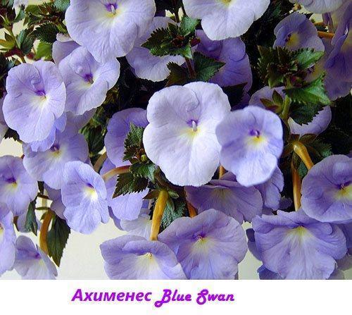 Ахименес Blue Swan