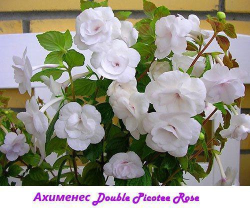 Ахименес Double Picotee Rose