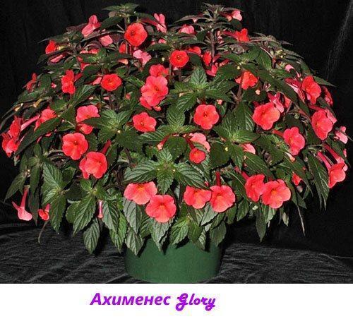 Ахименес Glory