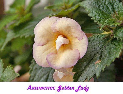 Ахименес Golden Lady