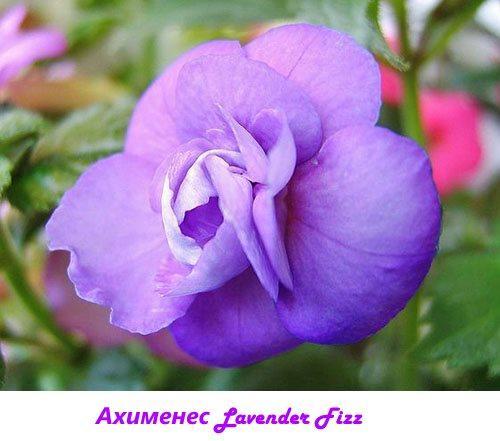 Ахименес Lavender Fizz