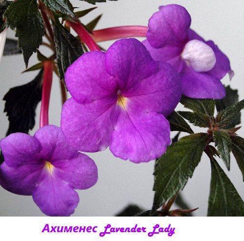 Ахименес Lavender Lady
