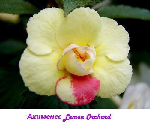 Ахименес Lemon Orchard