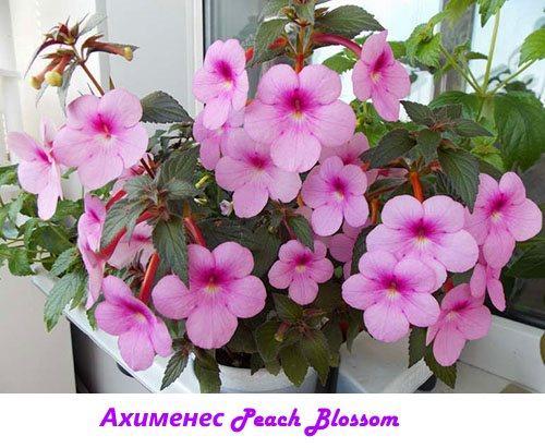 Ахименес Peach Blossom