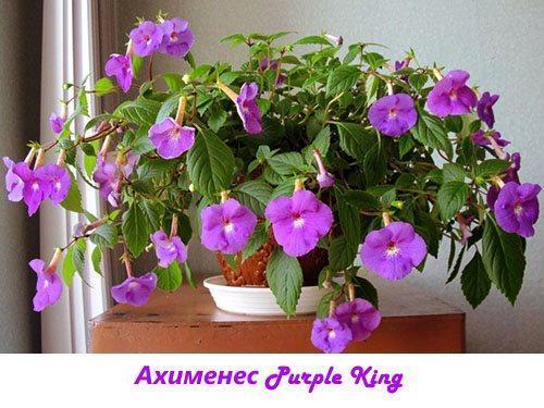 Ахименес Purple King