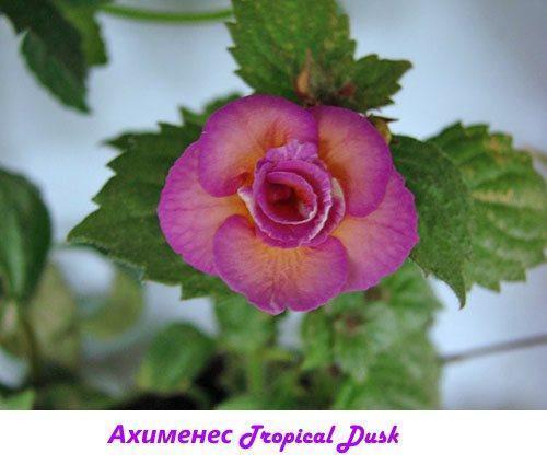 Ахименес Tropical Dusk
