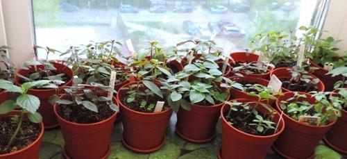 Молодые растения из черешков