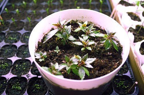 Появление первых всходов и молодые растения
