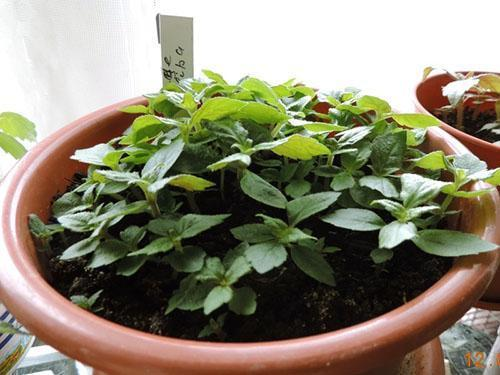Размножение ахименеса семенами