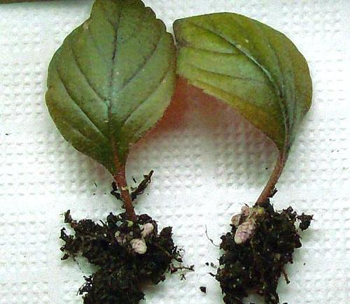 Укоренившиеся листовые черенки