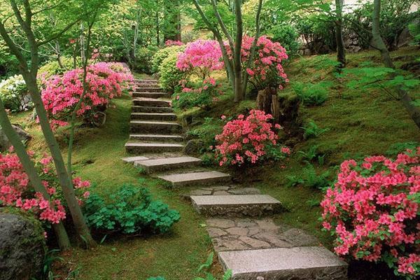 Азалия садовая — уход, обрезка, посадка, время цветения, уход зимой, видео