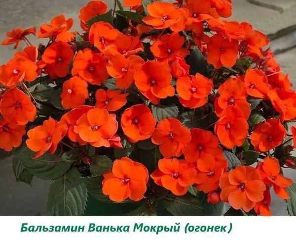 Бальзамин Ванька Мокрый (огонек)