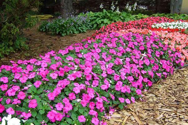 Бальзамин садовый посадка и уход в открытом