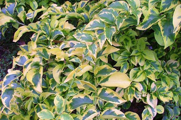 Бугенвиллия Golden Dragon с желто-зеленой листвой