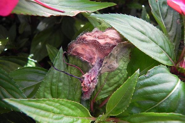Скручиваются листья у бальзамина — Цветы365