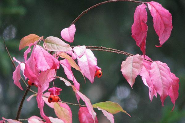 Цвет листьев бересклета бородавчатого осенью