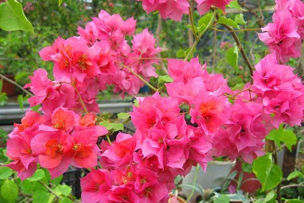 Цветение бугенвиллии Double Lilarose
