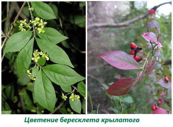 Цветение и плоды бересклета крылатого