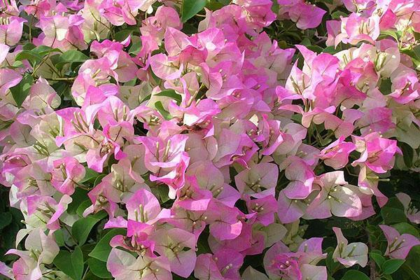 Цветет бугенвиллия