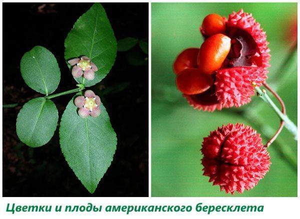 Цветки и плоды американского бересклета
