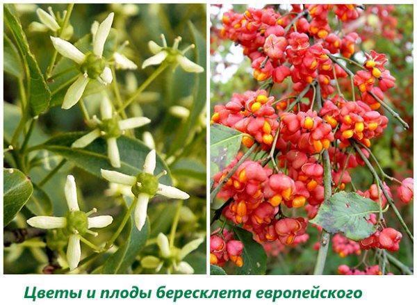 Цветки и плоды бересклета европейского