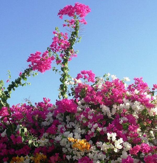 Цветущая бугенвиллия