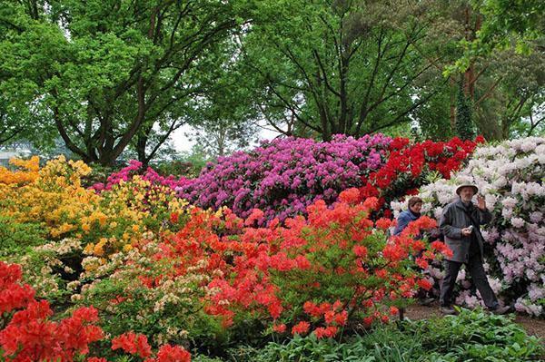 Цветущие азалии в ботаническом саду