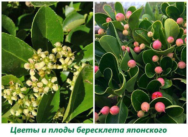 Цветы и плоды бересклета японского