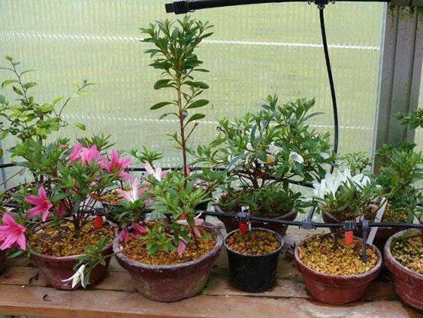 Для выращивания азалии выбирают низкие широкие горшки