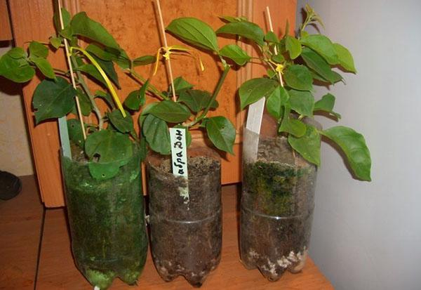 Еще немного и молодые растения можно будет пересаживать