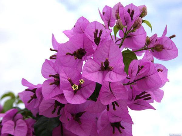 Красота прицветников бугенвиллии