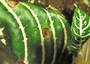 Лист аеландры поражен грибками Myrothecium roridum и Corynespora