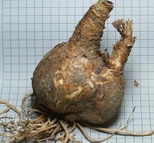 Луковица амариллиса