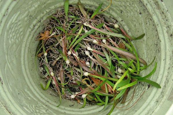 Молодые растения амариллиса из семян