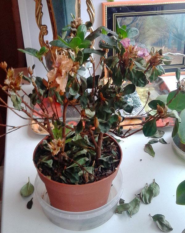 Неправильное содержание азалии приводит к опаданию листвы