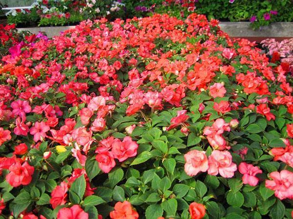 Обильное цветение бальзамина