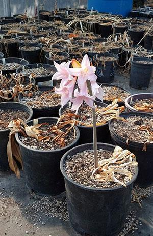 От качества используемого грунта зависит будет ли цвести амариллис