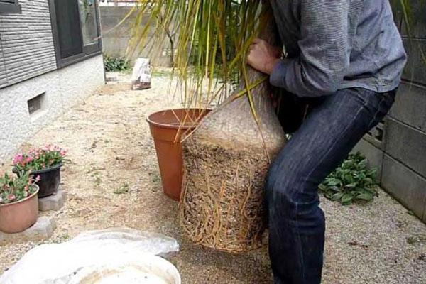 Пересадка взрослого растения бокарнеи