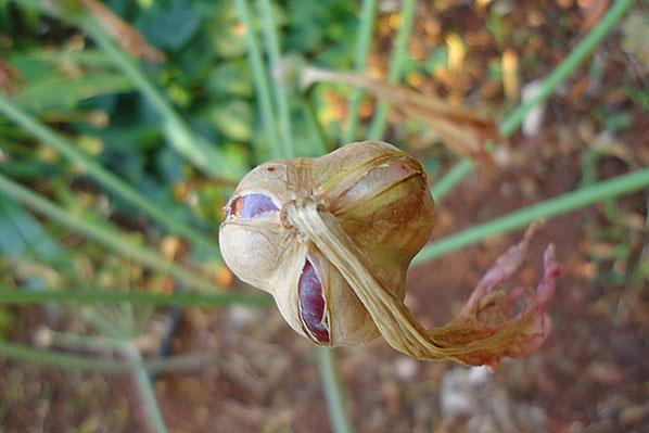 Плоды амариллиса