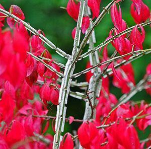 Побег бересклета крылатого с осенней листвой