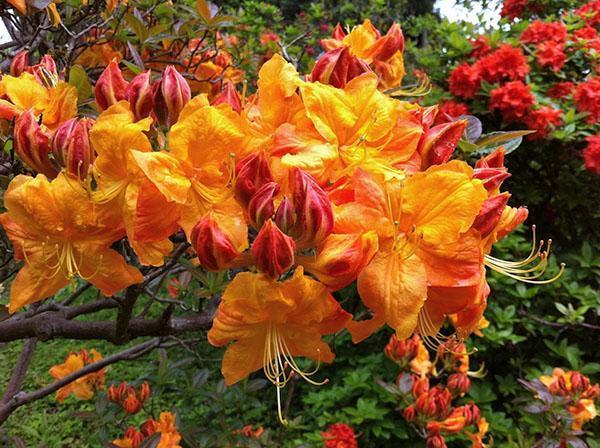При сильной жаре листья рододендронов испаряют токсины и эфирные масла