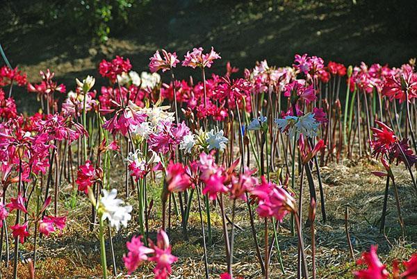 Разные цвета амариллиса